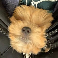 "Buddy on Instagram: ""When you gotta sleep you gotta sleep no matter where!! 🐶❤️🐶 #maltipoo #puppy #maltipoopuppy #dogsofinstagram #puppies #puppiesofinstagram…"" Maltipoo, Sleep, Puppies, Instagram, Puppys, Pup, Doggies, Catfish, Teacup Puppies"