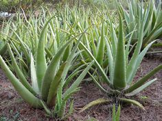 Aloe vera ( Aloe Barbadensis Miller), Koreninová a liečivá záhrada Aloe Barbadensis Miller, Outdoor Landscaping, Outdoor Gardens, Aleo Vera, Fresh Aloe Vera, Cactus, Mother Plant, Old Mother, Agaves