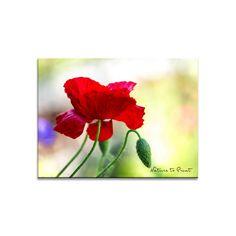 Blumenbild Roter Seidenmohn …