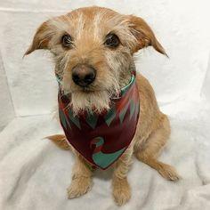 Loving our beautiful satin scarf from @dogsbesttrendltd! 😍😍😍 #thebondsbrothers #sammybonds #weeklyfluff #adorableanimals #dogsofinstagram #handsome #dog #rescue #rescuedog #mutt #model #adoptdontshop #dogoftheday #instadog #muttsofinstagram #petsoriginal #vitjunk #featurelittlefeatures #thewoofdaily #vipet  #dogsuniverse #DogSyncPackLeader #unitedpawsgroup #weareunitedpaws #scruffysquad #world_cutest_dog #puppology