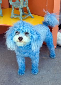 Dogs with Dye Jobs Weird Looking Animals, Autism Awareness Month, Beach Friends, Therapy Dogs, Blue Dog, Bichon Frise, Cute Babies, Dinosaur Stuffed Animal, Cute Animals