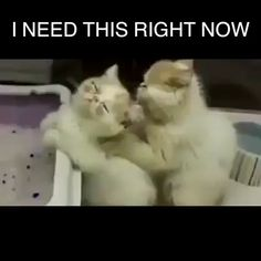 Funny Quotes Animals Cats Laughing Kittens 29 Ideas For 2019 Funny Animal Videos, Cute Funny Animals, Funny Animal Pictures, Cute Baby Animals, Animals And Pets, Cute Cats, Funny Cats, Cats Humor, I Love Cats