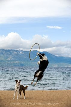 show-off border collies