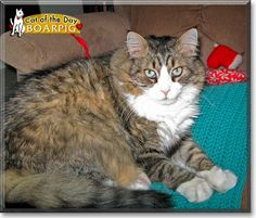Read Boarpig the Maine Coon's story from California, Maryland and see his photo at Cat of the Day http://CatoftheDay.com/archive/2012/April/10.html .