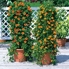 So easy to grow, so beautiful to behold! This Black-eyed Susan vine tumbles from baskets and windowboxes, threads through fences, and climbs trellises with ease. Every inch is studded with brilliant orange-red blooms, dark-eyed and intensely colorful. The flowers begin in late spring and continue nonstop through summer and even into autumn! In the garden this vine will reach 3 to 5 feet long and 2 to 4 feet wide, but it will stay smaller in containers. Sunny Susy loves sun and heat, ...
