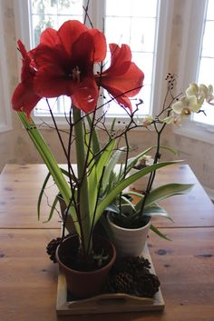 Growing Amaryllis - plant in November for Christmas bloom. Because the flowers tend to be a bit top heavy support them with some twigs. The blooms will last about 2-3 weeks.