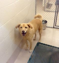 Animal ID #46524 Pen 114 MALE Labrador 3 years old Can be adopted on 8-19-2015 Please call the shelter for more information 770-339-3200