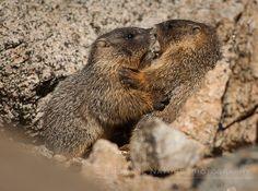 Fun Friday: Enjoying Life & Playing Hard! - Yellow-bellied Marmot (Marmota  flaviventris) kids playing   Show Me Nature Photography