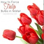 How to Force Tulip Bulbs in Water - Sand & Sisal DIY >>>> Learn how to force tulip bulbs in water. You could easily have tulips all year round with these simple instructions! Garden Bulbs, Planting Bulbs, Garden Plants, Indoor Plants, House Plants, Planting Flowers, Sisal, Growing Orchids, Growing Plants