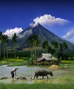 carabao couch? - Mayon volcano, albay, Philippines