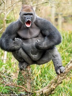 Rare Animals, Animals And Pets, Funny Animals, Strange Animals, Gorilla Gorilla, Tarzan Gorilla, Western Lowland Gorilla, Silverback Gorilla, Hilarious Animals