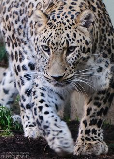 Big spotted cat...or leopard for short