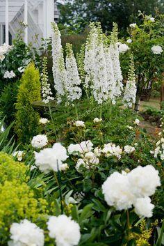 White Delphinium stalks, Peonies, and Roses in a Sissinghurst-style white garden
