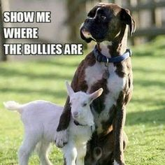 Cute #bully #dog #lamb