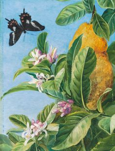 186. Foliage, Flowers and Fruit of the Citron, and Butterfly; painted in Brazil. Prints by Marianne North | Magnolia Box