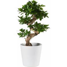 Citronfikus med S-form Ficus Bonsai, Ficus Microcarpa, S Form, Money Plant, House Plants, Flower Power, Planters, Home And Garden, Herbs