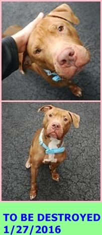 SAFE 1-27-2016 by Pound Hounds Res-Q --- Manhattan Center MAX – A1062963  MALE, BROWN / WHITE, AM PIT BULL TER MIX, 3 yrs OWNER SUR – EVALUATE, NO HOLD Reason OWN EVICT Intake condition UNSPECIFIE Intake Date 01/14/2016 http://nycdogs.urgentpodr.org/max-a1062963/