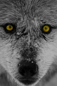 .When you have the wolf as a spirit animal, it could be an expression of your sharp intelligence and strong instincts. The wolf symbolizes a strong connection with instincts and when it appears as a animal spirit guide, it could point to a way of perceiving and understanding the world around you that works similarly.  Whether the wolf appears in physical form or in a dream or meditation, it may reveal that you're using your instincts and intuition to grasp a situation well.
