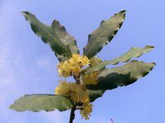 Laurus nobilis flowers (Alloro)  #TuscanyAgriturismoGiratola