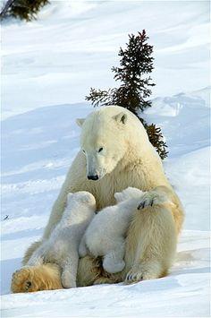 Imagem: Filhotes de urso polar escalam a mamãe (© M Watson/Ardea/Caters News)