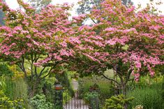 "Cornus Kousa-""Miss Satomi"" -Satomi Dogwood OMGGG so cute! Pink flowering version of Kousa Dogwood Landscape Trees, Garden Trees, Plants, Small Natural Garden Ideas, Dogwood Tree Landscaping, Urban Garden, Dogwood Trees, Dogwood Blooms, Specimen Trees"