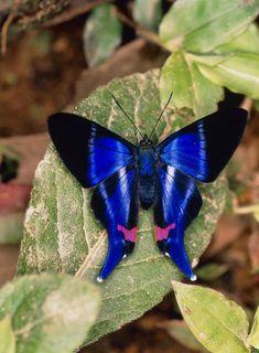 photos de papillons, papillon splendide en bleu, noir et rose