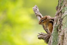 Chipmunk In A Tree, AKA Not A Fawn