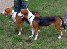 GERMANHOUND/DEUTSCHE BRACKE Dog Breeds, Germany, Animals, Hunting, German, Animaux, Species Of Dogs, Animal, Animales