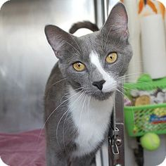 Mt Vernon, NY - Domestic Shorthair. Meet Miss, a cat for adoption. http://www.adoptapet.com/pet/10932951-mt-vernon-new-york-cat