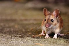 Tips on rodent control for broiler farmers Poulty World spoke to rodenticide expert Sharon Hughes, BASF's global technical marketing manager and Paul Saven, director of Merseyside-based Instant Pest Solutions to find out why rat control programmes often fail and how to apply a successful ... #pestcontroltips