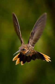Foto beija-flor-rajado (Ramphodon naevius) por Cláudia Brasileiro   Wiki Aves - A Enciclopédia das Aves do Brasil