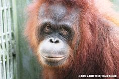 Hari ke-1: Lima Orangutan Pulang ke Kalimantan Tengah | BOS Foundation