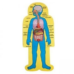 human interior body parts images for kids