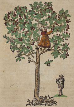 Cherry tree Kreutterbuch, (Strassburg, 1580)  Author: BOCK, Hieronymus (1498–1554) Artist: David Kandel
