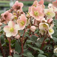 Hellebore Pink Frost is a unique, deer and drought proof groundcover for the shade garden. You'll never find a Hellebore with  such colorful foliage  and  stunning flowers !   Pink Frost is a stunning combination of outward facing  long flowering blooms  of pink, white and rose tone flowers. Imagine,  flowers that turn more pink as it fades!  Luscious lipstick red stems compliment heavy flowering blooms.   Stunning, silver evergreen leaves are leather-thick to easily embrace any fie...
