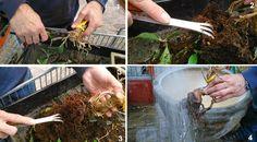 El blog de Los Peñotes: Trasplantar un bonsai.