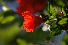 Flor de Româs