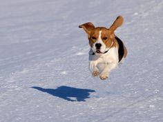 Beagle... la Raza Ideal de Perros! - Taringa!