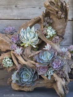 Tree roots are great as planters for Sempervivas (Photo: Roger´ . - Tree roots are great as planters for Sempervivas (Photo: Roger´s Garden) - Succulent Gardening, Cacti And Succulents, Garden Planters, Planting Succulents, Container Gardening, Organic Gardening, Tree Planters, Patio Gardens, Succulent Terrarium