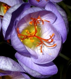Grow Your Own Saffron - This is the time to invest in saffron bulbs for fall blooming -- and  premier homegrown spice.