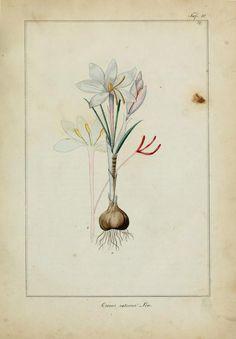 Crocus sativus (Saffron Crocus). Plate from 'Medicinisch-Pharmaceutische Botanik.' Author - C.L. Stupper Published 1841 by Gedruckt bei Anton Strauss's sel. Witwe