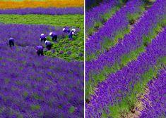 lavender-fields-harvesting-2