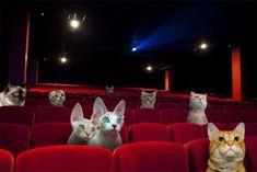 Cat Cinema - With cat cafes popping up all around the world, Great Kittens is hoping to take the concept to the next level by opening the first cat cinema in Lo. Cinemas In London, New Cinema, Poster Series, Mundo Animal, Wildlife Nature, Arts And Entertainment, Four Legged, Cool Cats, Great Photos