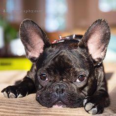 """I'm Bored, Amuse Me"", French Bulldog."