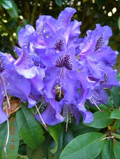 Our beautiful blue Rhododendron