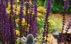 A excellent combination of Salvia and Achillea. Our first hoem, our first garden, Hampton Court Flower Show 2012 by Nilufer Danis. Gold Medal and Best in Show.