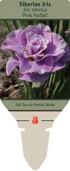 Siberian Iris Iris sibirica Pink Parfait from Netherland Bulb