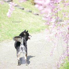 【kei.lalala】さんのInstagramをピンしています。 《. . しっぽが左をさしていたので、ついつい左に行くとこでした . (誘導柴) (クイッとね) . #桜 #日本 #cherryblossom . #excellent_dogs #bestwoof #east_dog_japan #dog_features #igclubdogs #heart_imprint #airy_pics #whim_fluffy #topdogphoto #bestphotogram_dogs #softones_perfection #team_jp_東 #igcutest_animals #pets_of_our_world #ig_myshot #thehub_soft #dogsofinstaworld #dogscorner #sendadogphoto #splendid_lite #iganimal_snaps #houndandlife #my_pet_feature #igwoofs #leather_nose #7pets_1day》