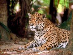 images of big cats   Big Cats lepord