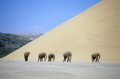 Desert adapted elephants in Damaraland, Namibia